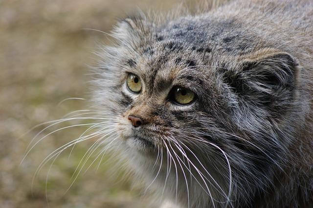 Pallas Cat - © pixabay.com