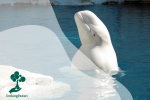 Mengenal Paus Beluga, Si Cerdas yang Ramah ke Manusia