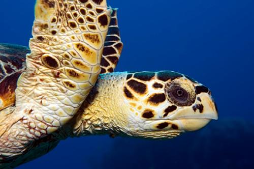 Gambar 3. Eretmochelys imbricata © TurtleTalk
