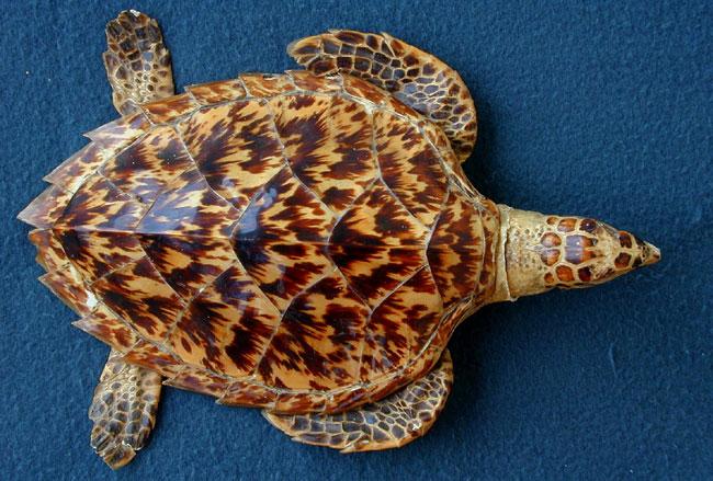 Gambar 4.Eretmochelys imbricata © TurtleTalk