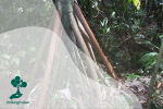 Cashapona, Si Pohon Berjalan