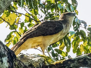 Rajawali Papua ⓒ birdsoftheworld.org