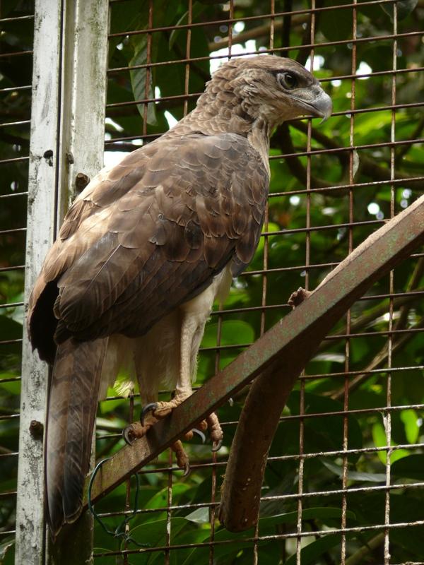Rajawali Papua ⓒ flickriver.com