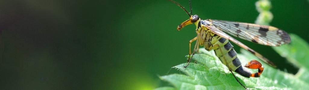 Gambar 1. Lalat Kalajengking © The Wildlife Trusts