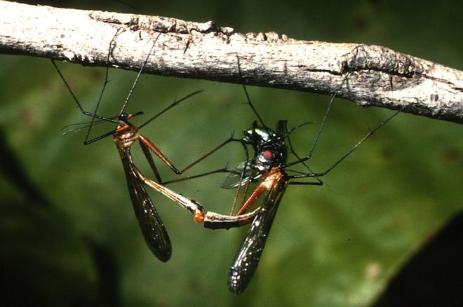 Gambar 2. Perkawinan Lalat Kalajengking © TOP BEST