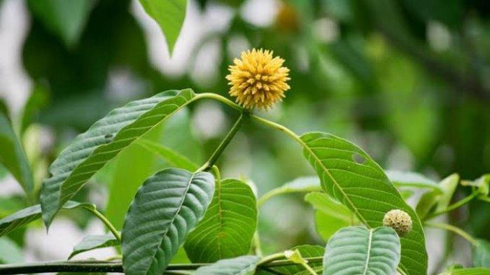 Gambar 3. Bunga Kratom