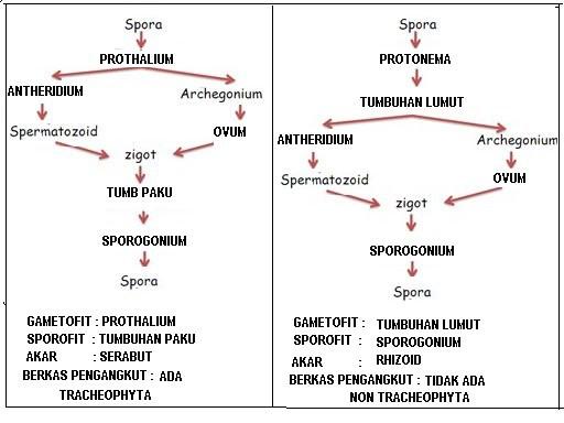 Perbedaan Siklus Hidup Lumut dengan Paku ⓒ brainly.co.id