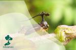 Wereng Pohon Brazil, Serangga dengan Tanduk bak Helikopter