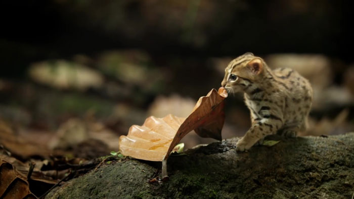 Rusty-spotted cat - © BBC - Kucing liar