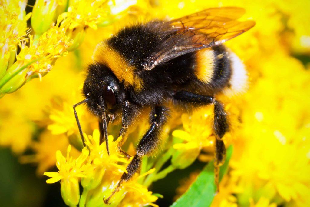 ambar 2 Lebah Bumblebee © youngspestcontrol.co.uk