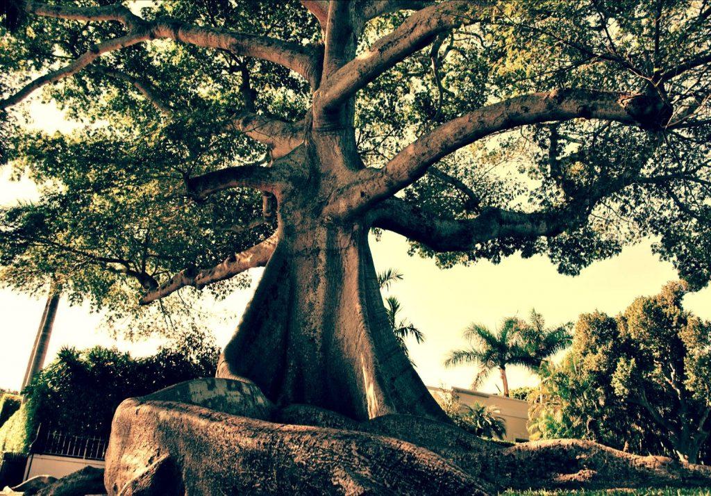 Gambar 1 Pohon Kepuh (Sterculia Foetida)