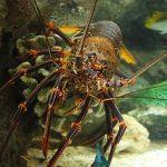 Jenis Lobster, Manfaat dan Persebarannya