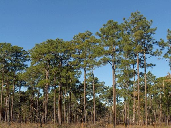 Gambar 3 Pinus Palustris