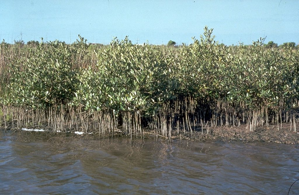 Gambar 3 Mangrove Hitam (Avicennia sp)