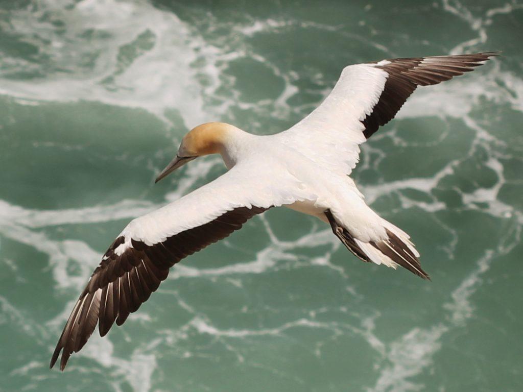 Gambar 2 Burung Serrator Terbang di Atas Laut