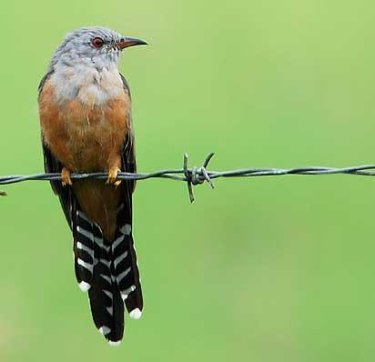 Gambar 2. Burung Wiwik Kelabu Dewasa