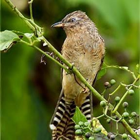 Gambar 1. Burung Wiwik Kelabu Muda