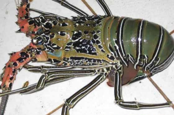 jenis lobster bambu