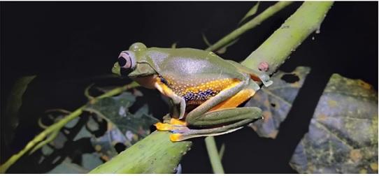 Gambar 1. Katak Pohon Rhacophorus reinwardtii (Dokumentasi pribadi)