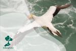 Australasian gannet (Morus serrator): Burung laut dengan gaya berburu paling dramatis di Bumi