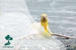 Penguin Kuning, Penguin Langka di Antartika