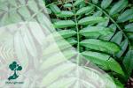 Mengenal Daun Sungkai, Daun yang Digunakan Sebagai Obat Tradisional