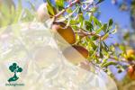 Pohon Argan: Pohon yang Dihinggapi Kambing
