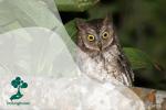 Celepuk Rinjani, Burung Hantu Endemik dari Pulau Lombok