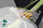 Katak Pohon (Rhacophorus reinwardtii) Amfibi yang Semakin Langka