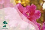 Bunga Azalea, Si Cantik yang Penuh Warna