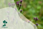 Mengenal Verbena Brasiliensis, Primadona Gunung Semeru