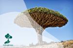 """Pohon Darah Naga, """"Pohon Alien"""" yang Terancam Punah"""