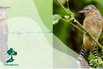 Burung Wiwik Kelabu, Burung Benalu dan Pembawa Malapetaka