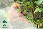 Langur Borneo, Satwa Endemik dari Kalimantan yang Terancam Punah