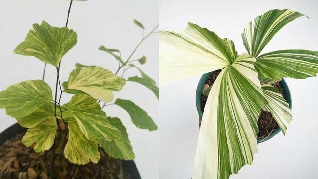Gambar 2 Bermacam Jenis Daun Philodendron © KlikHijau.com