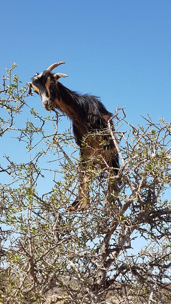 Gamar 2 Kambing di Atas Pohon Argan