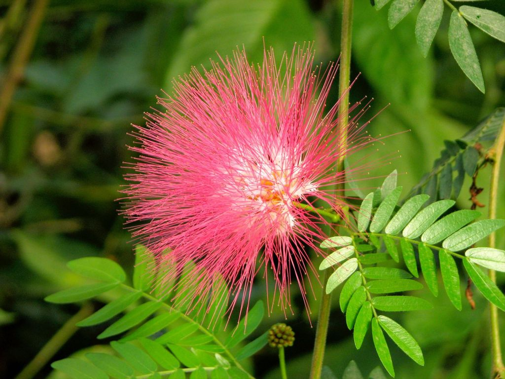 Gambar 3. Bunga di Pohon Trembesi yang sedang mekar berwarna merah muda