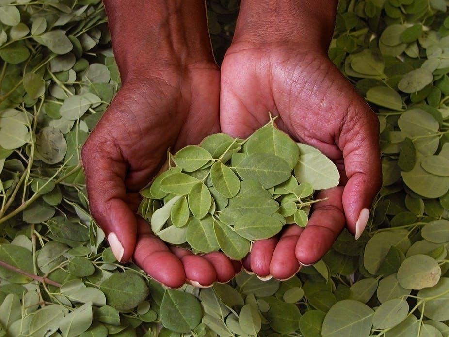 Gambar 3. Konsumsi daun kelor secukupnya, agar dapat manfaatnya.
