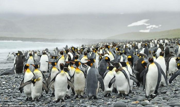 (Gambar 1. Kawanan penguin)
