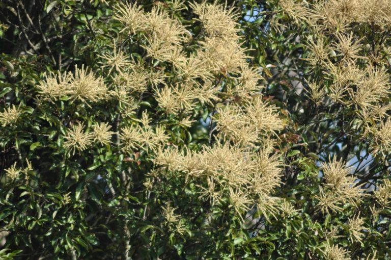 Bunga Pohon Saninten © krcibodas.lipi.go.id