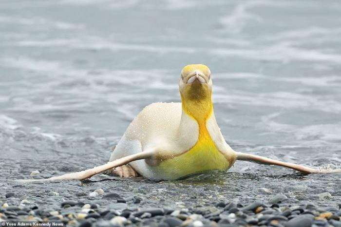 (Gambar 2. Penguin kuning di darat)