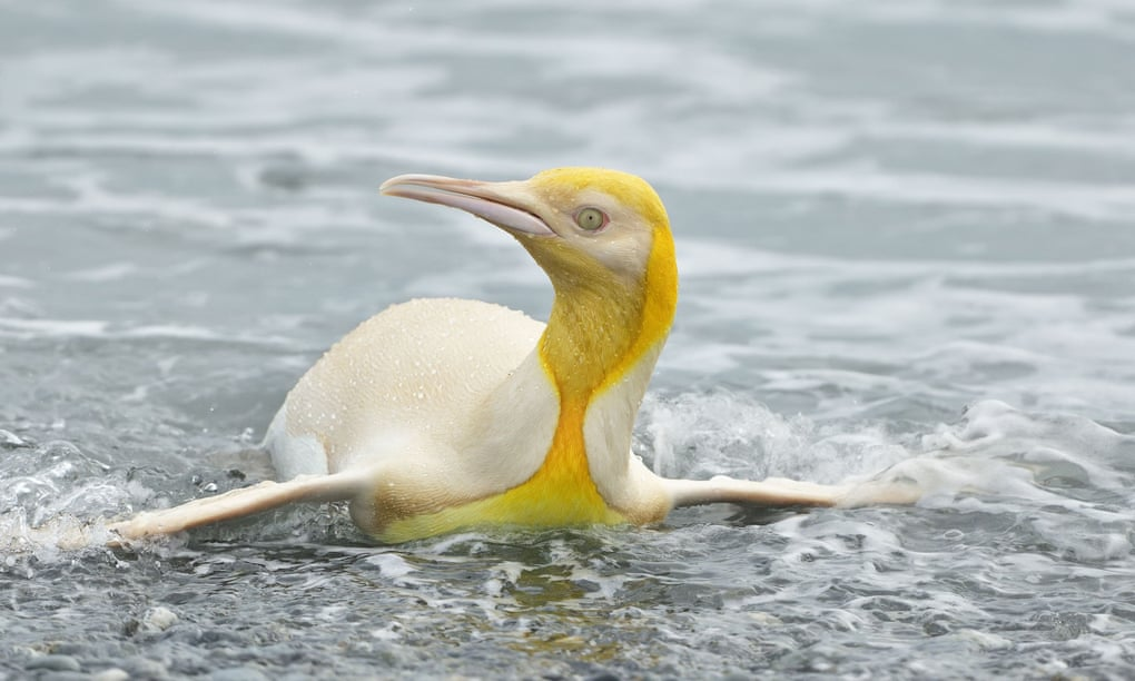 (Gambar 3. Penguin kuning yang menepi)