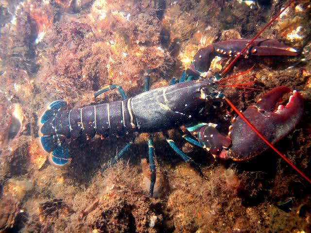 Gambar 1. Lobster