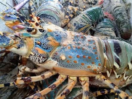Gambar 6. Lobster Mutiara
