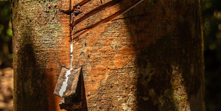 Gambar 4. Getah Putih yang Sering Dimanfaatkan Penduduk Lokal untuk Dijual
