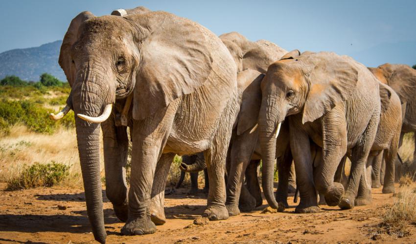 Gambar 1. Gajah Afrika