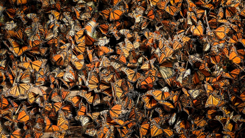 Gambar 2. Kumpulan Populasi Kupu-kupu Monarch