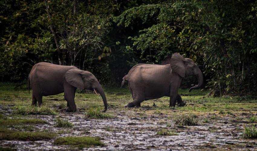 Gambar 2. Gajah Afrika