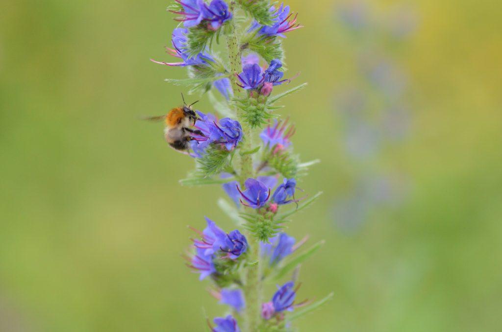 Gambar 3. Penyerbukan Tanaman oleh Lebah