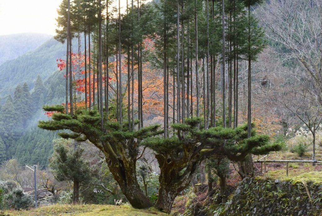 Gambar 1. Penanaman Pohon dengan Teknik Daisugi di Jepang.